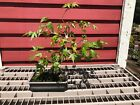 12 Japanese Maple Informal Upright Style Bonsai Tree