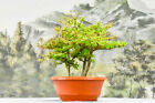 Forest Planting of 3 DWARF BLACK OLIVE Pre Bonsai Tree Very Tiny Leaves