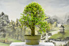 Large Stock LAUREL OAK Pre Bonsai Tree Cold Hardy Color Changing Folage