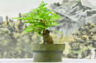 Alluring BULLHORN ACACIA Pre Bonsai Tree with SUMO Trunk  Compound Foliage