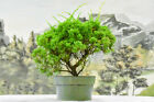 SHIMPAKU JUNIPER Pre Bonsai tree Cold Hardy Evergreen Jin  Shari potential