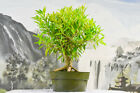 Beautiful WILLOW LEAF FICUS 89 Pre Bonsai Tree with Large Nebari