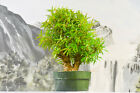 Worthy WILLOW LEAF FICUS Pre Bonsai Tree with tiny leaves Twin Trunks
