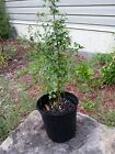 Trident Maple Bonsai Starter Tree