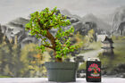 Stout DWARF JADE Pre Bonsai Tree Succulent Great for Beginners