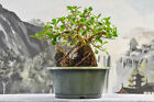 Stout GREEN ISLAND FICUS Root Over Rock Pre Bonsai Tree with Aerial Roots