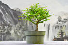 Small Leaf XYLOSMA Pre Bonsai Tree with Chartreuse Green Leaves