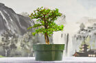 Delightful Double Trunk on DWARF BLACK OLIVE Pre Bonsai Tree Very Tiny Leaves