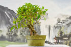 Awesome Evergreen MORTON BAY FIG Pre Bonsai tree  Great for beginners