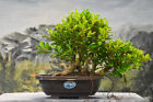 Spotted Bark on TIGER BARK FICUS Pre Bonsai Great for beginners and Indoors