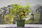 Lovely Movement on BALD CYPRESS Pre Bonsai Tree Cold Hardy