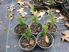 Shimpaku juniper Bonsai Mame cuttings lot of 5