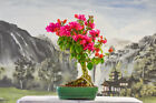 Gorgeous Helen Johnson BOUGAINVILLEA Bonsai Flowers Year Round I