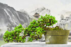 Pleasing Cascade FUKIEN TEA Pre Bonsai Tree Prolific Bloomer