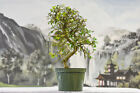Winding Trunk on CHINESE ELM Pre Bonsai Tree Cold Hardy Small leaves