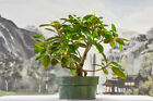 Fine FICUS RIUBIGINOSA RUSTY FIG Pre Bonsai Fast Grower LITTLE LEAF FIG