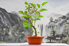 Alluring DWARF MULBERRY Pre Bonsai Tree Fruiting Tree Good Shohin Material