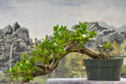 Cascade BUTTONWOOD Pre Bonsai Tree Deadwood for Carving Hardy Tropical