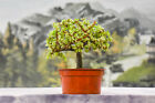 Stout VARIEGATED DWARF JADE Pre Bonsai Tree Succulent Great for Beginners