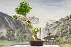 SALE Brilliant BUTTONWOOD Bonsai Tree Deadwood for Carving Hardy Tropical