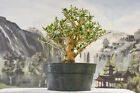 Excellent EUROPEAN OLIVE Pre Bonsai Tree Great branching w naturally aged bark