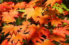 Full Moon Maple Acer japonicum Tree Seeds Fall Color Bonsai Hardy Easy