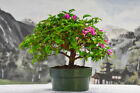 Vivid Blooms on BOUGAINVILLEA PURPLE pre bonsai Flowers Year Round