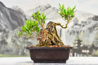 SALE Excellent EUROPEAN OLIVE Bonsai Tree Lots of Deadwood Great for Carving