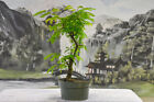 Terrific TROPICAL MIMOSA Pre Bonsai Tree NO FLORIDA SALES Nice Nebari