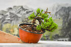 JUNIPER Pre Bonsai tree Cold Hardy Evergreen Cascade Material
