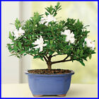 Gardenia Small Bonsai Tree Plant