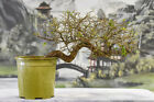 Winding Trunk CASCADE CHINESE ELM Pre Bonsai Tree Cold Hardy Small leaves