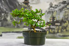 Fast Growing PREMNA Pre Bonsai Tree with Dense Foliage Tropical Favorite