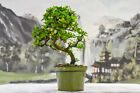 Flowering  Fruiting FUKIEN TEA Pre Bonsai Tree Great for Beginners Imported