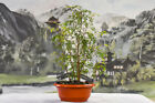 TROPICAL MAHOGANY FOREST of 6 Pre Bonsai Tree Red Petioles on New Growth