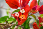 Stunning Blooms on FLAME BOUGAINVILLEA Pre Bonsai Flowers Year Round