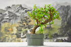 Unique Silhouette on DWARF JADE Pre Bonsai Tree Succulent