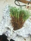 25 Japanese Black Pine seedlings for bonsai JBP Pinus thunbergii