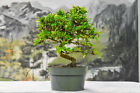 Fine Movement on FUKIEN TEA Pre Bonsai Tree Prolific Bloomer Small Leaves