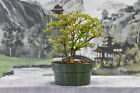 3 Trunks Delightful DWARF BLACK OLIVE Pre Bonsai Tree Very Tiny Leaves