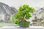 Great GREEN ISLAND FICUS Pre Bonsai Tree with Aerial Roots Hardy Tropical