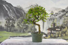 Winding Trunk  Small Leaves on CHINESE ELM Pre Bonsai Tree Cold Hardy