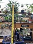 Large 9 Year Chinese Elm Bonsai Tree Curved Thick And Hardy Trunk