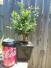 Japanese Boxwood Pre Bonsai Nice Base and Branching Buxus microphylla Nebari