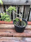 8 Japanese Lionshead Maple Pre Bonsai Tree Air Layer Grown Windswept Style