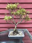 15 Tall Japanese Satsuki Azalea Hikorin Bonsai Informal Style 8 10 Years