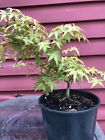 7 Japanese Oto Hime Maple Pre Bonsai Tree Grown Informal Style