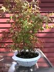 11 Tree Japanese Mountain Maple Pre Bonsai Tree Grove 20 Tall