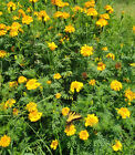 400+ Yellow marigold seeds mosquito pest repellent drought resistant