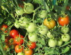 Baxter Early Bush Cherry Tomato - 20 Seeds